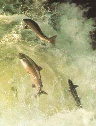 Fishing Tips - Salmon Fishing
