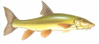 The Barbel