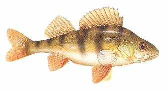 Perch The large mouthed, boldly striped flanks, spiked dorsal finned predator